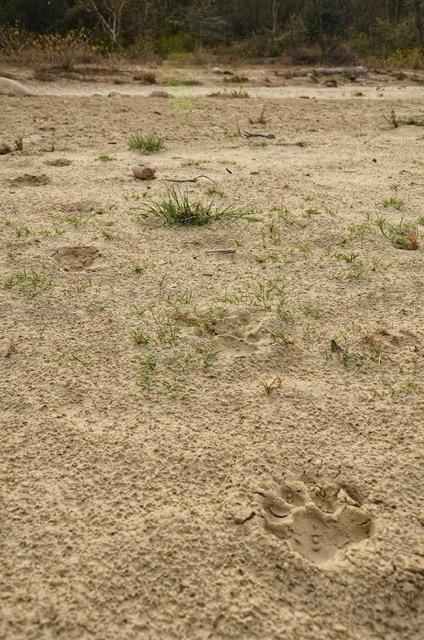 Corbett National Park - Pug Marks