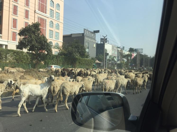 sheep-drove