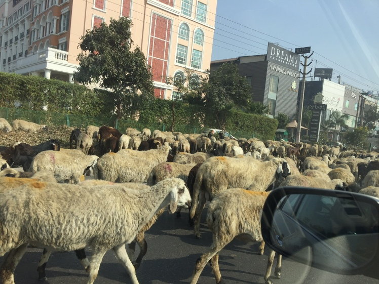 sheep-on-the-road