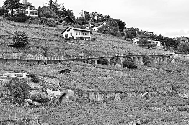 vineyards-black-and-white