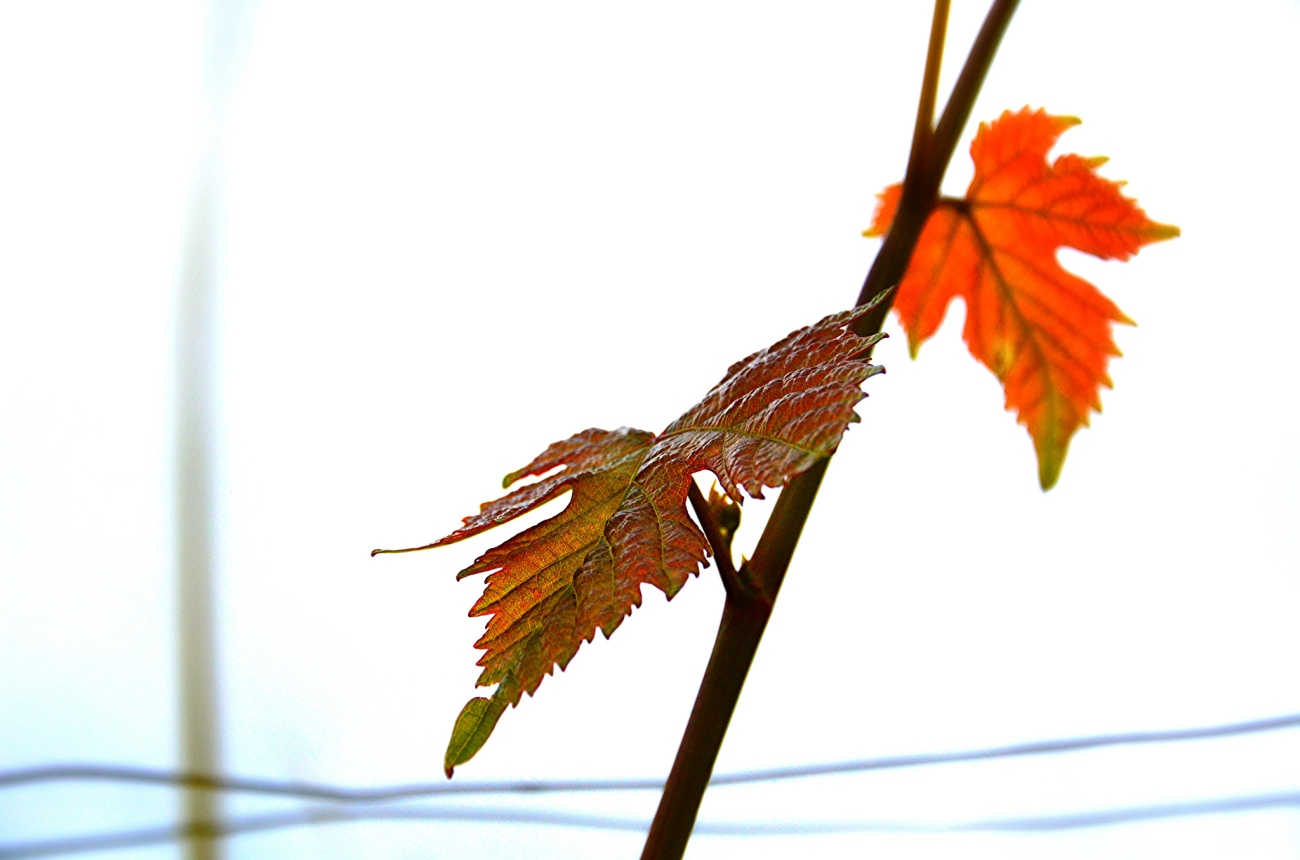 wine-leaf