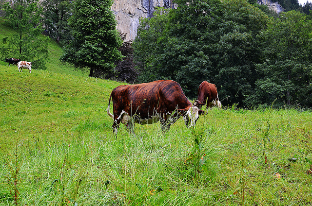 Cows Grazing