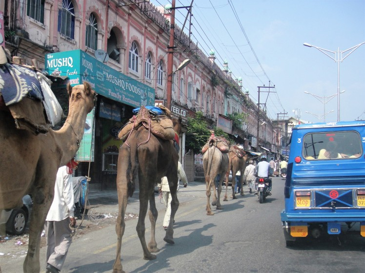 Make Way for the Camel Train