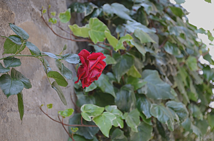 A Solitary Rose - Cully