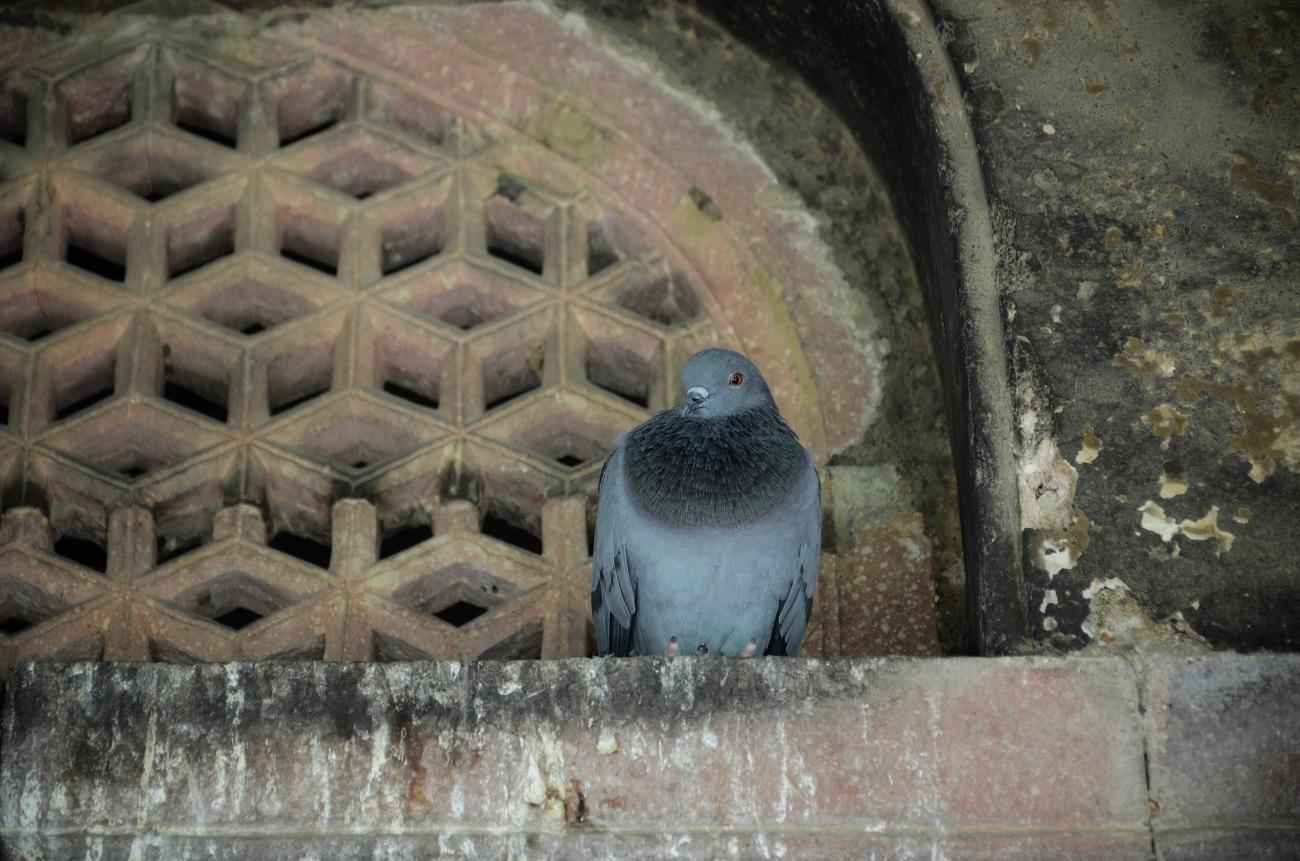 A resident at Isa Khan's Garden Tomb
