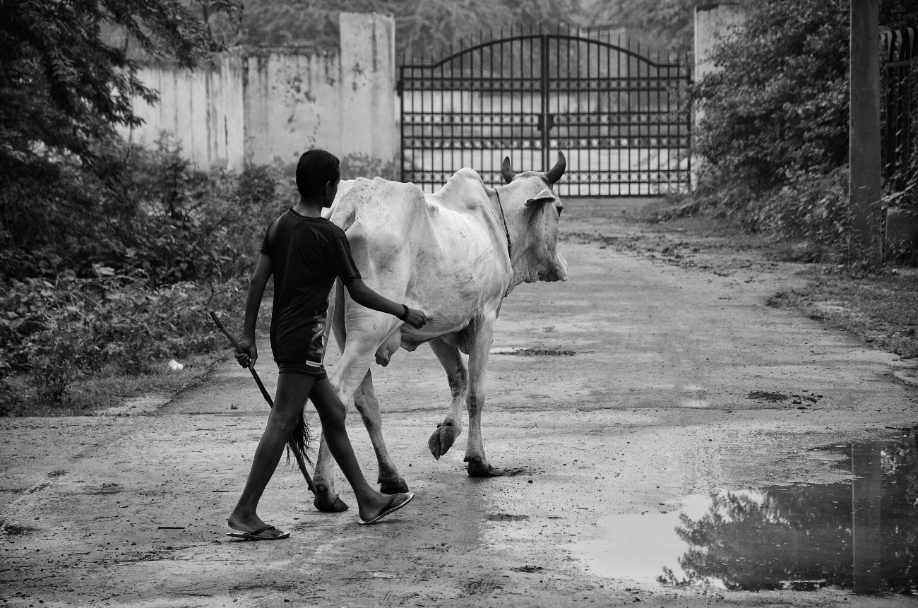 a boy and a cow