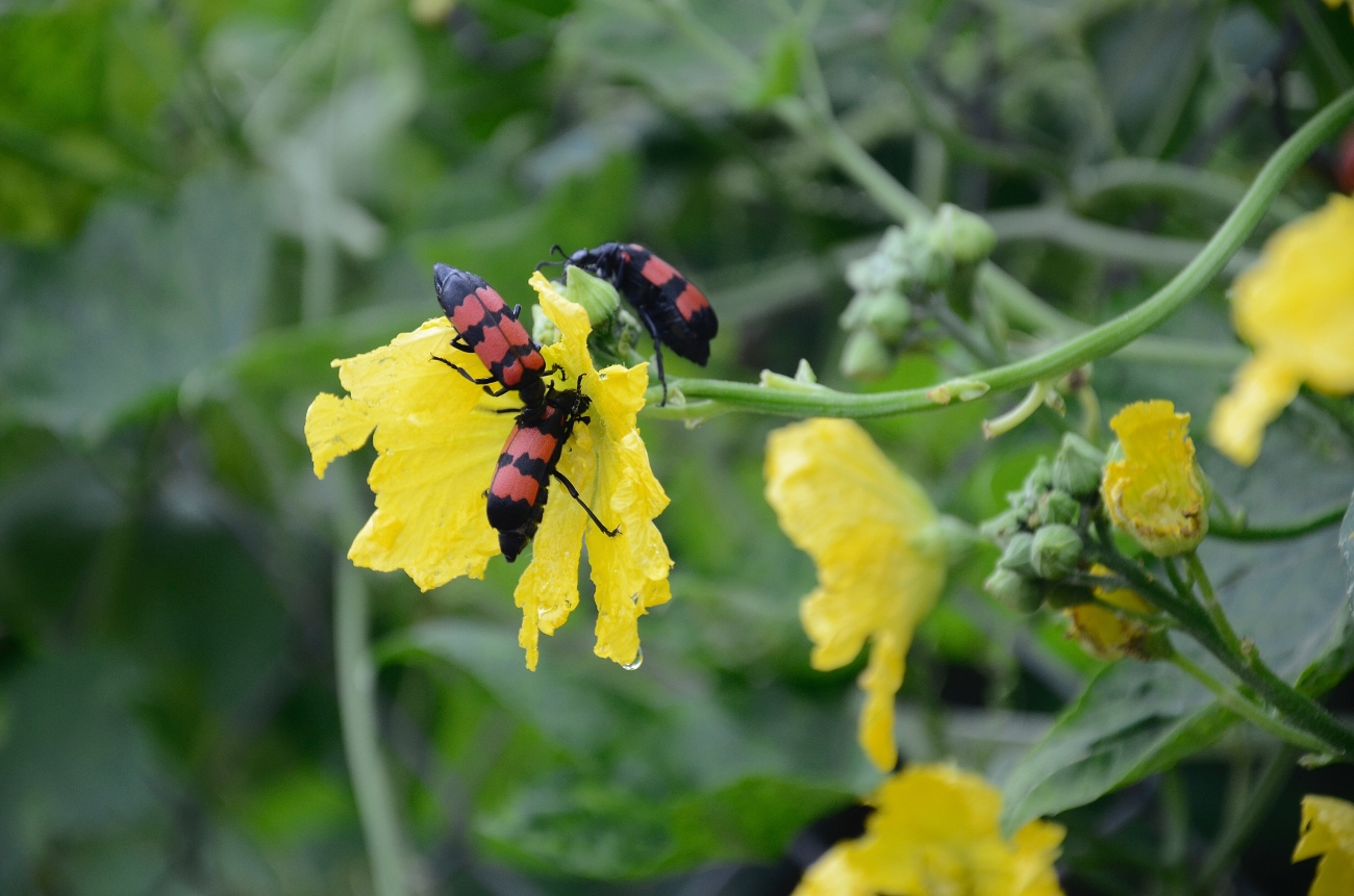 beetles on a yellow flower