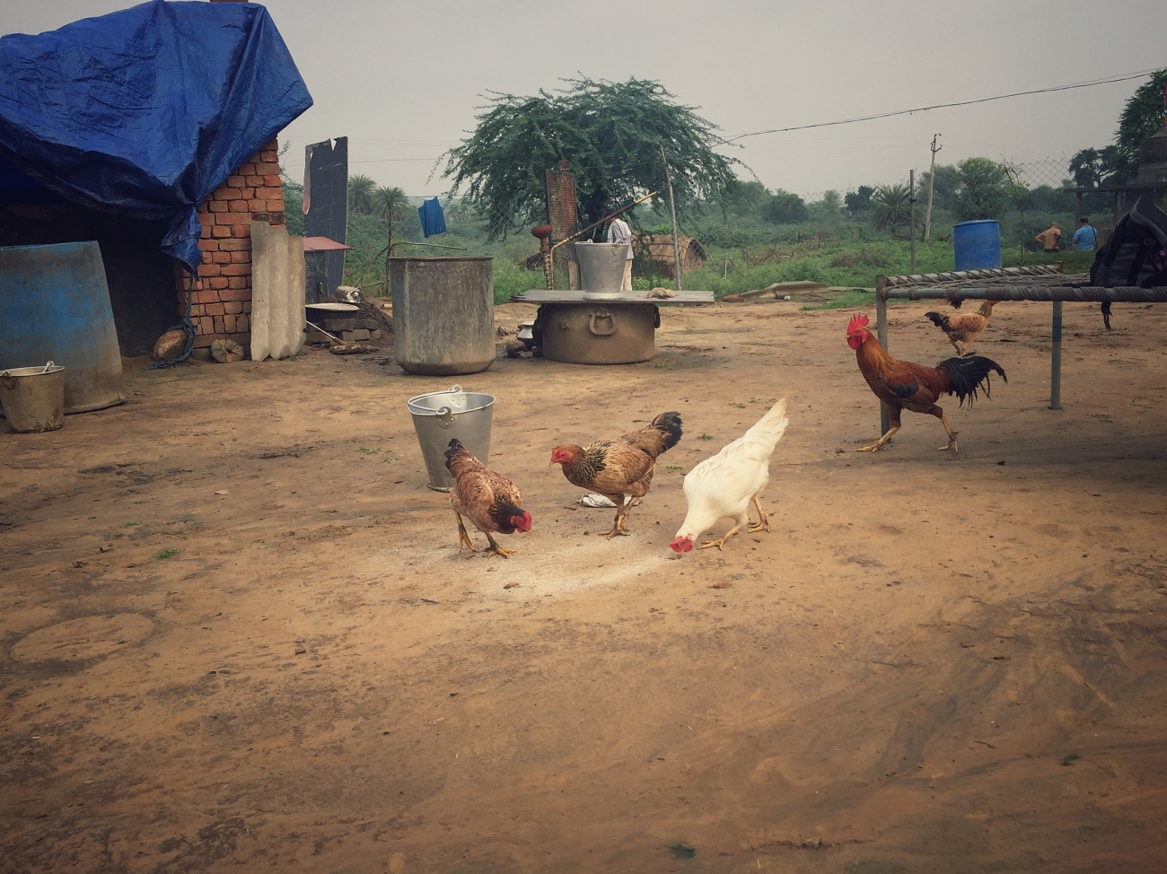 hens and rooster
