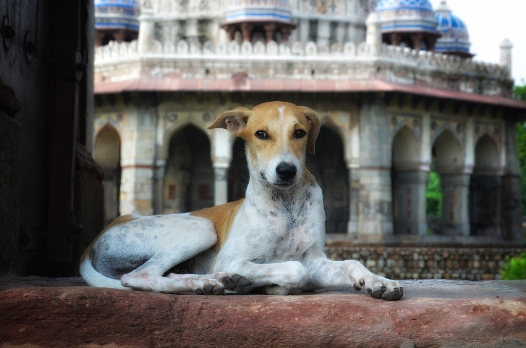 Dog at Humayun Tomb