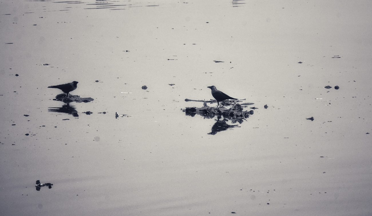 The Hitchhikers - Crows take a ride on plastic bags on the Yamuna