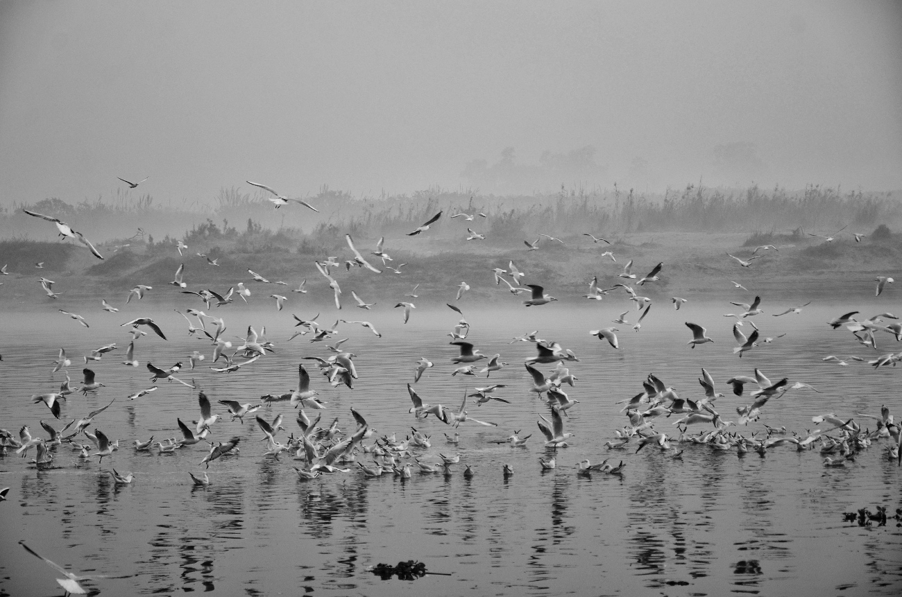 The Migratory Seagulls at Yamuna Ghat in New Delhi