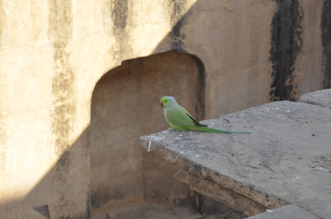 lots of parakeets at the neemrana stepwell in rajasthan
