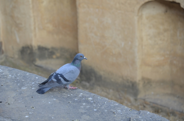 pigeon on the ledge - neemrana stepwell