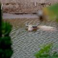 Water buffalo in Laos