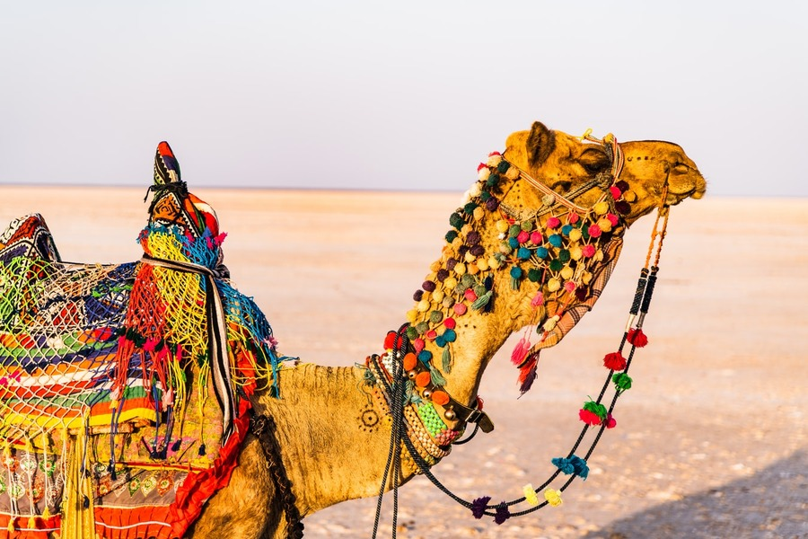 Camel in the Rann of Kutch