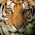 The Myth of the Tiger at Corbett National Park #Nature #Tiger #India