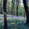 Bluebell Wood Near Bath