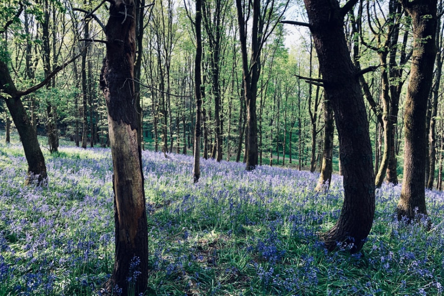 Bluebell Wood Near Bath
